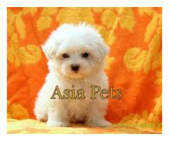 Maltese puppy for sale in  vizag low price