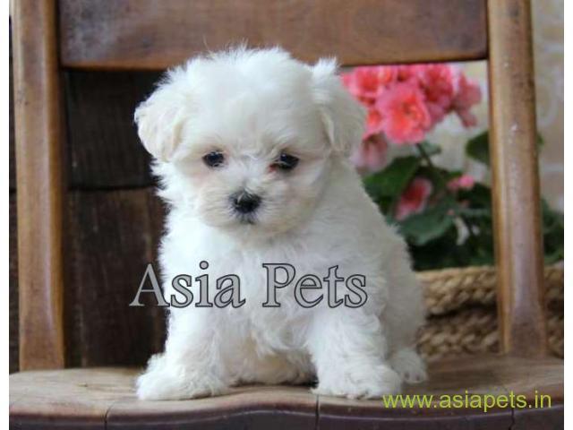 Maltese puppy for sale in rajkot best price