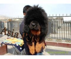 Tibetan Mastiff puppy sale in Bhopal price