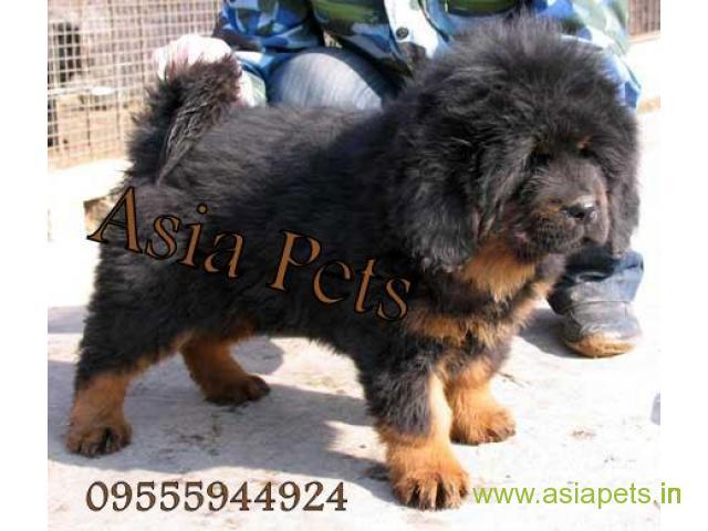 Tibetan Mastiff puppy sale in Delhi price