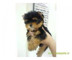 Tea Cup Yorkshire Terrier puppy sale in Bangalore price