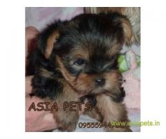 Tea Cup Yorkshire Terrier puppy sale in indore price