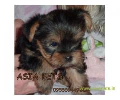 Tea Cup Yorkshire Terrier puppy sale in Kanpur price