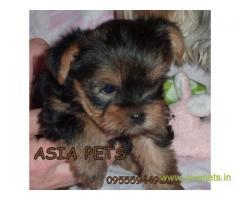 Tea Cup Yorkshire Terrier puppy sale in Vadodara price