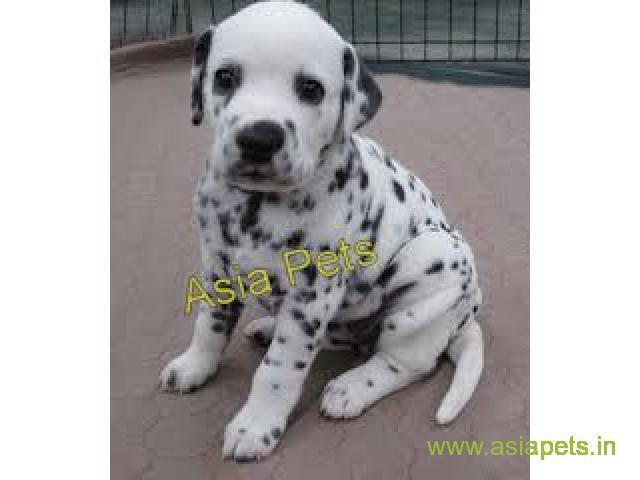 Dalmatian puppy sale in Nashik price