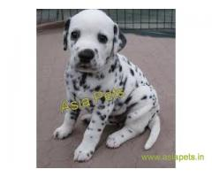 Dalmatian puppy sale in Vadodara price
