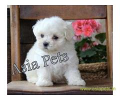 Tea Cup maltese puppy sale in Faridabad price