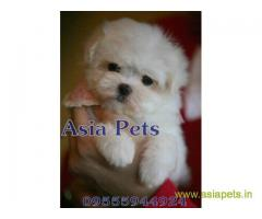 Tea Cup maltese puppy sale in Ghaziabad price