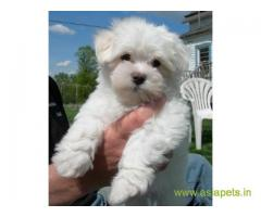 Tea Cup maltese puppy sale in Madurai price