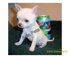 Tea Cup Chihuahua puppy sale in Ghaziabad price