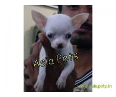 Tea Cup Chihuahua puppy sale in Gurgaon price