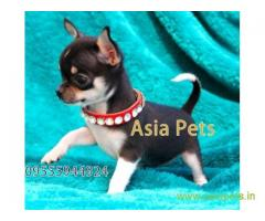 Tea Cup Chihuahua puppy sale in Lucknow price