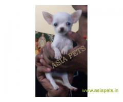 Tea Cup Chihuahua puppy sale in pune price