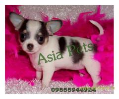 Tea Cup Chihuahua puppy sale in Vadodara price