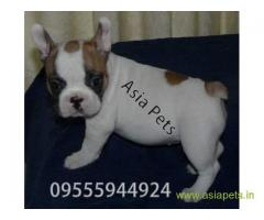 French bulldog puppy for sale in  Hyderabad best price