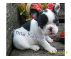 French bulldog puppy for sale in Kolkata best price