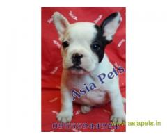 French bulldog puppy for sale in Lucknow best price