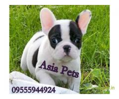 French bulldog puppy for sale in Nagpur best price