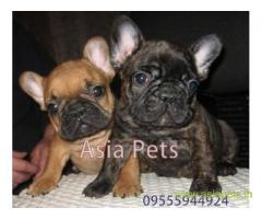 French bulldog puppy for sale in Ghaziabad best price
