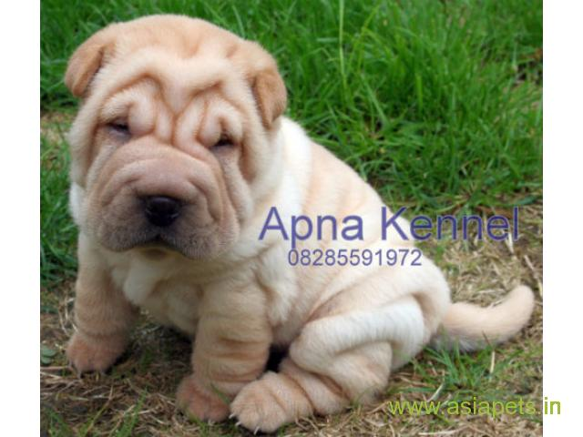 Shar pei puppy  for sale in Faridabad Best Price