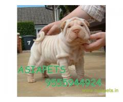 Shar pei puppy  for sale in Gurgaon Best Price