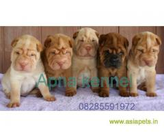 Shar pei puppy  for sale in Ghaziabad Best Price