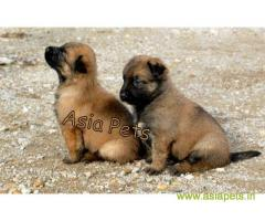 Belgian shepherd puppy  for sale in Agra Best Price