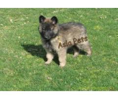 Belgian shepherd puppy  for sale in Chandigarh Best Price