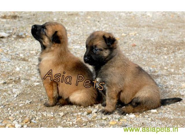 Belgian shepherd puppy  for sale in Dehradun Best Price