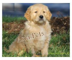 Golden retriever puppy  for sale in Agra Best Price