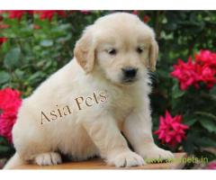 Golden retriever puppy  for sale in Ahmedabad Best Price