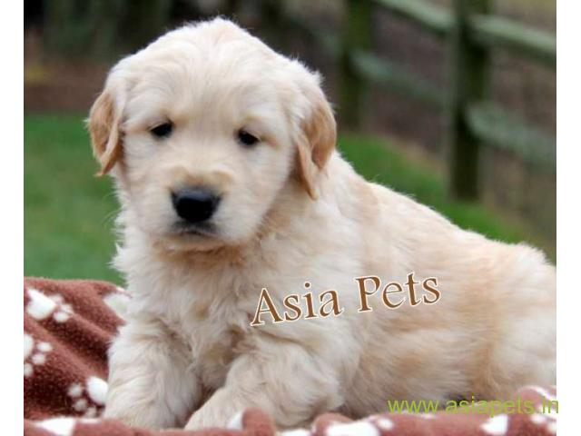 Golden Retriever Puppy For Sale In Bangalore Best Price