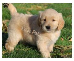 Golden retriever puppy  for sale in Bhopal Best Price