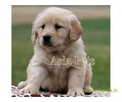 Golden retriever puppy  for sale in Chennai Best Price