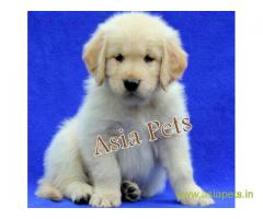 Golden retriever puppy  for sale in Gurgaon Best Price