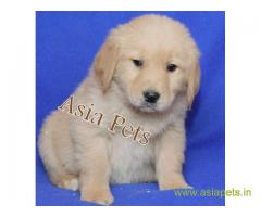Golden retriever puppy  for sale in Guwahati Best Price
