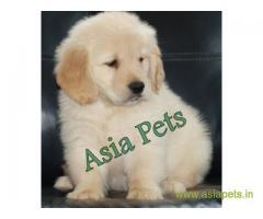 Golden retriever puppy  for sale in Hyderabad Best Price
