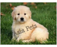 Golden retriever puppy  for sale in Jaipur Best Price
