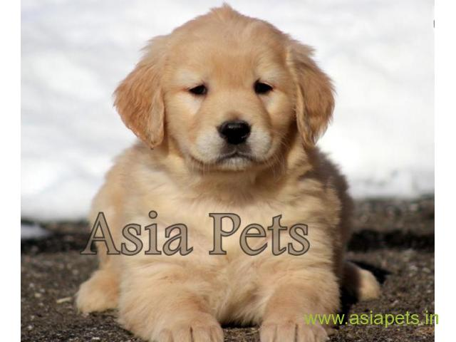 Golden Retriever Puppy For Sale In Ranchi Best Price