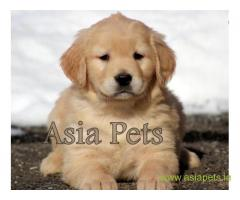 Golden retriever puppy  for sale in Ranchi Best Price