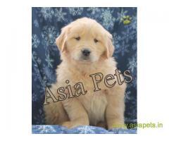 Golden retriever puppy  for sale in Jodhpur Best Price