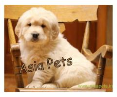 Golden retriever puppy  for sale in Kanpur Best Price
