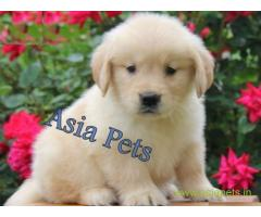 Golden retriever puppy  for sale in Kolkata Best Price
