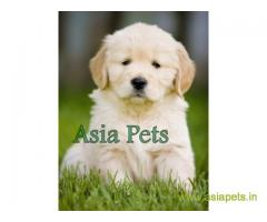 Golden retriever puppy  for sale in Lucknow Best Price