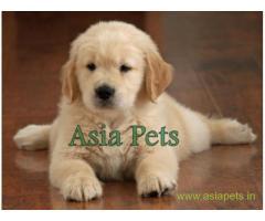 Golden retriever puppy  for sale in Madurai Best Price