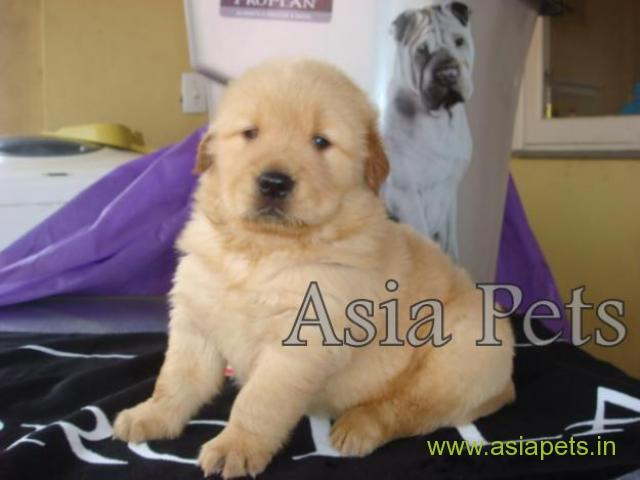 Golden retriever puppy  for sale in patna Best Price