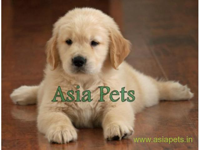 Golden Retriever Puppy For Sale In Pune Best Price