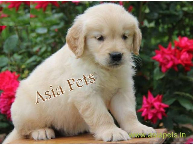 Labrador Puppy Price In Vizag Labrador Puppy For Sale In Vizag