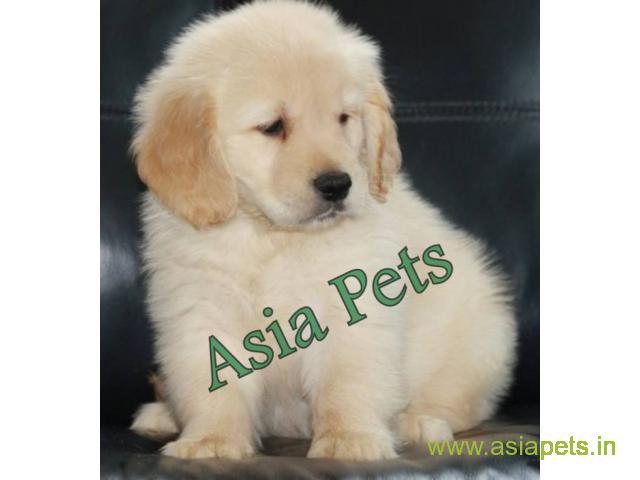 Golden Retriever Puppy For Sale In Vadodara Best Price