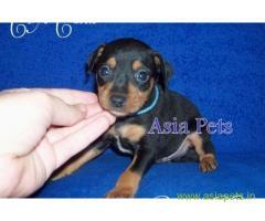 Miniature pinscher puppy  for sale in Agra Best Price